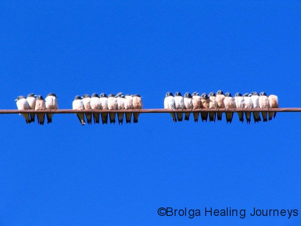 A line-up of White Breasted Woodswallows, Port Hedland, WA
