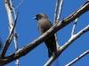 Little Woodswallow, West MacDonnells, NT