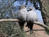 A pair of Black Faced Woodswallows - a tender moment!