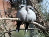 Another view of the Black Faced Woodswallows