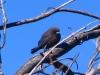 Little Woodswallow, Mt Augustus WA