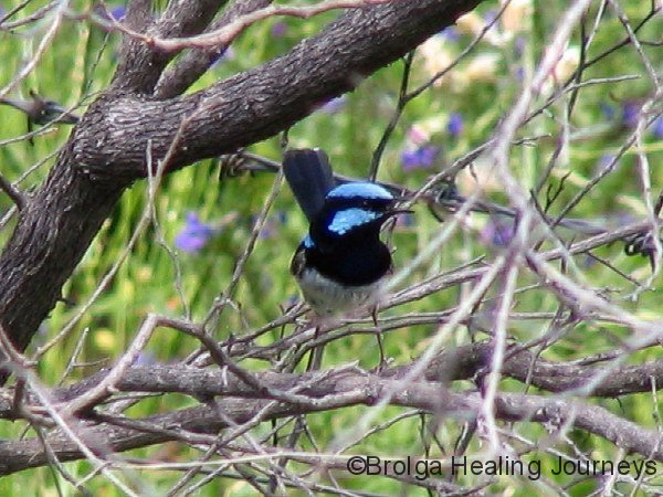 Superb Fairy Wren, male, Mt Kaputar Ntl Pk, NSW