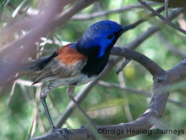 Variegated Fairy Wren, male, Mt Remarkable Ntl Pk, SA