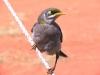 Yellow-Throated Miner, Watarrka Ntl Pk, NT