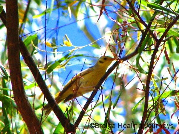 Yellow-Tinted Honeyeater, Annie Creek, Mornington Wildlife Sanctuary, the Kimberley WA