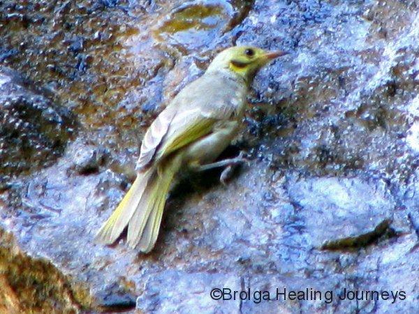Yellow-Tinted Honeyeater, Galvans Gorge WA