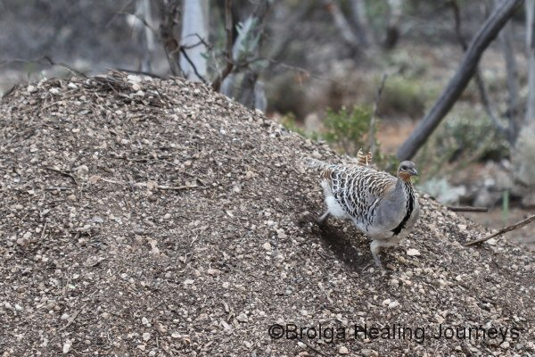 Male Malleefowl at work on its mound at Yookamurra.