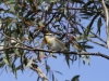 Striated Pardalote.