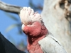 Close-up of Galah.