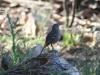 An elusive Southern Scrub-Robin
