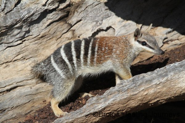 This gorgeous little Numbat was a regular visitor near the accommodation buildings at Yookamurra.