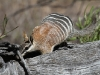 Checking the log for termites.  Termites comprise the entire diet of Numbats, with up to 20000 eaten daily.