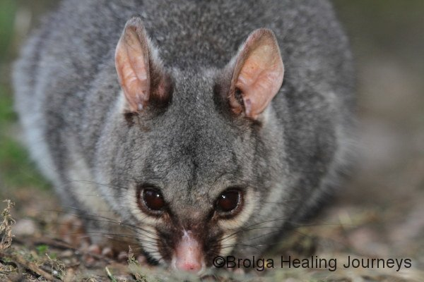 Close-up of Common Brushtailed Possum.