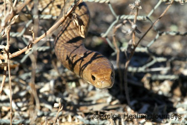 Common (or Eastern) Brown Snake.  Look out!