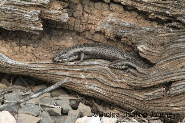 Two Tree Skinks (Egernia striolata)  look out from their log.