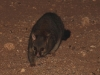 Common Brushtail Possum on the prowl at Yookamurra.