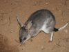 A Greater Bilby near our cottage.  One of the great joys of being at Yookamurra was to have these so close-by.  If only they were still commonplace across Australia.