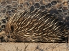 We regularly watched Echidnas wander by our cottage.