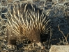 Another view of an Echidna