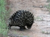 An Echidna wandering off down the road.