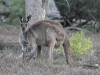 Male Western Grey Kangaroo