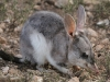 Greater Bilby at Yookamurra.  Enchanted, fragile and beautiful.