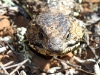 Another close-up of a Shingleback lizard.