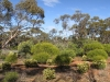 Another view of the Desert Phebalium (small flowering shrubs in foreground).