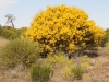 An Acacia (Wattle) in full bloom.